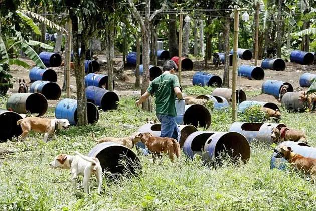 30149587 - 300 pitbulls fueron rescatados de perreras secretas donde eran entrenados para peleas ilegales