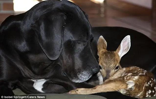 grandanesadoptacervatil - #Video La historia de un gran danés que adoptó a un ciervo huérfano inspira un libro para niños