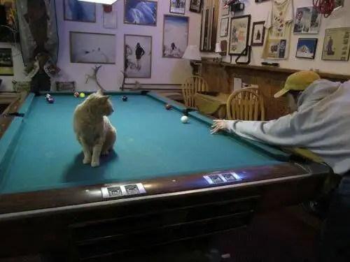 alcaldegato8 - El alcalde de un pueblo de Alaska es un gato (un gato de verdad)
