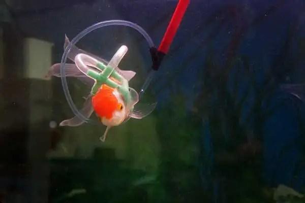 arete - Un chaleco salvavidas para Einstein, el pez de colores que no puede flotar