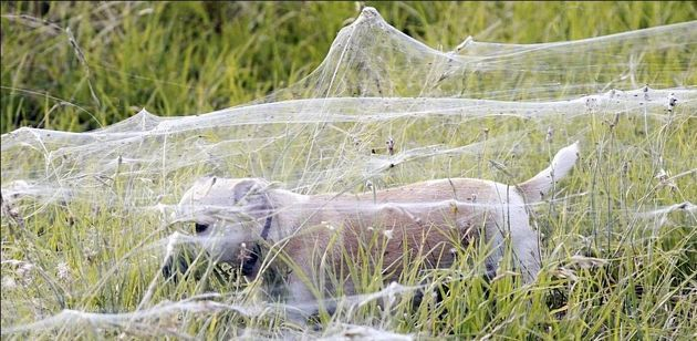 Arañas invaden pueblo en Australia