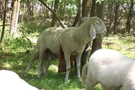 Tutto (o quasi) sugli agnelli (2/6)