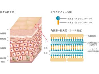 皮膚の構造とターンオーバー_20180524_3