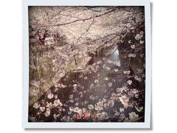 マザー ネイチャーズ サン Mother Nature's Son桜