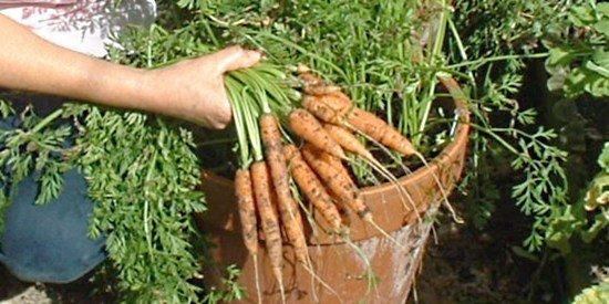 什么菜最容易种?胡萝卜