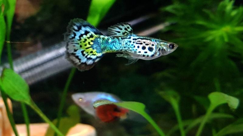 the world's most popular freshwater aquarium fish species. Wayne's AquaWorld