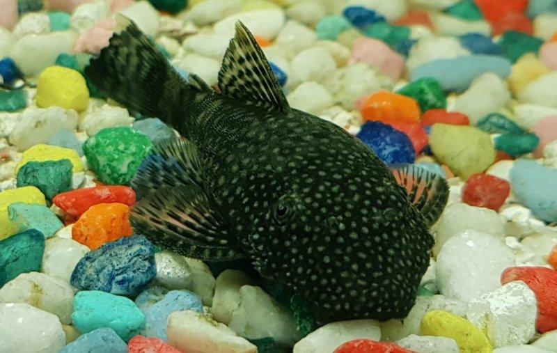 Bristlenose Ancistrus catfish, which has a sucker mouth. Wayne's AquaWorld