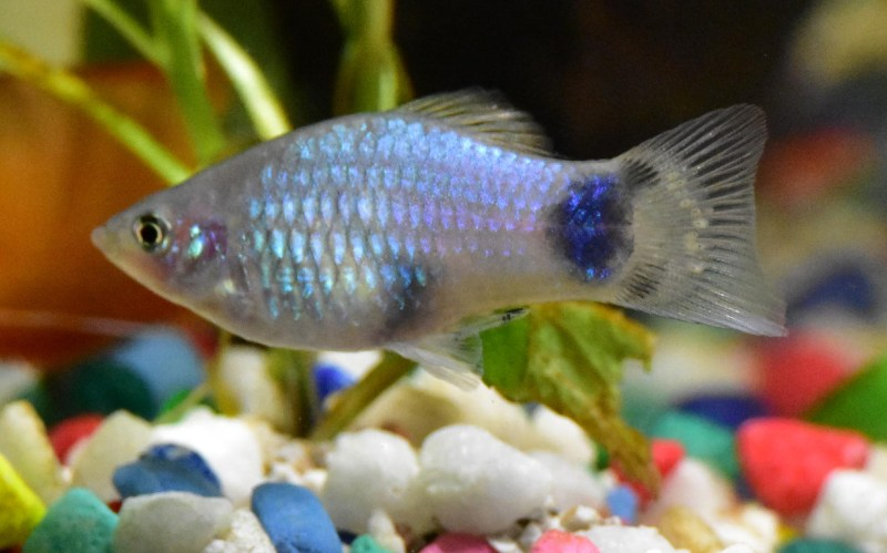 Filling your first tropical platy fish tank aquarium setup. Wayne's AquaWorld