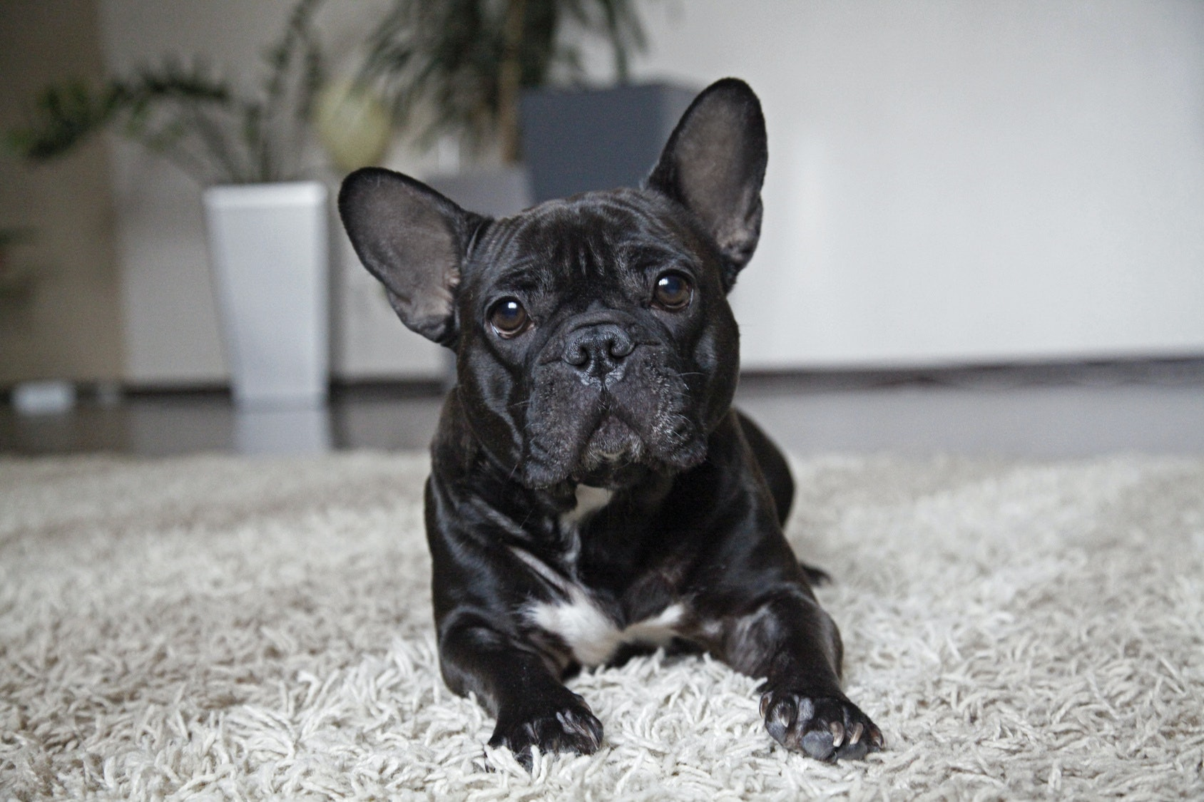 13 Best Dog Breeds For Small Apartments