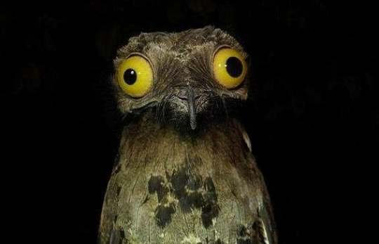10 Interesting Facts About The Great Potoo  A Truly Cartoonish Bird Potoo Birds Are The Subject Of Some Spooky Folklore