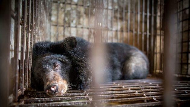 Hoffnung für Vietnams leidende Gallebären (Bild: Vier Pfoten)