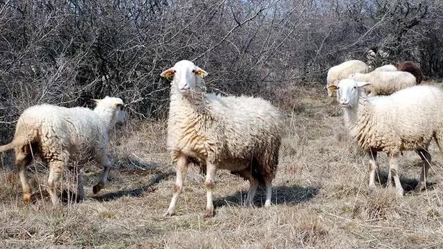 Anaç koyun ve keçi desteklemesi 2021 ne zaman ödenecek? Bakandan açıklama!