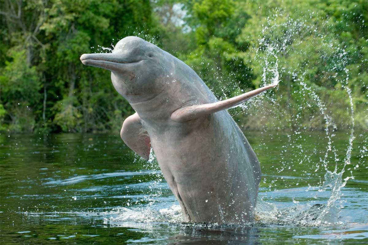 Amazon Rainforest River Dolphin