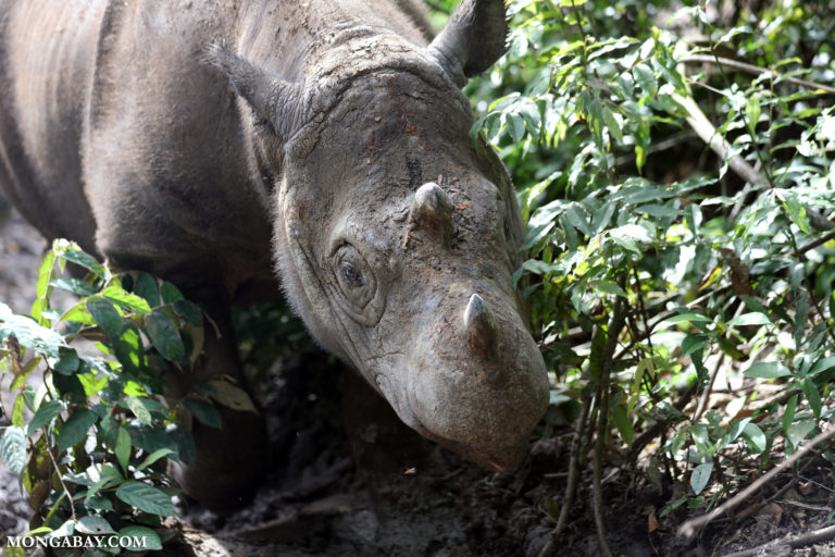 Snare traps decline, but still pose a threat to Leuser's Sumatran rhinos