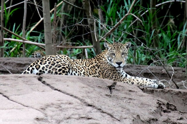 Should he be elected and follow through with his campaign pledges, Bolsonaro could pose a major threat to Amazon biodiversity, Brazil's environment, and indigenous and traditional peoples. Image by Rhett A. Butler / Mongabay.