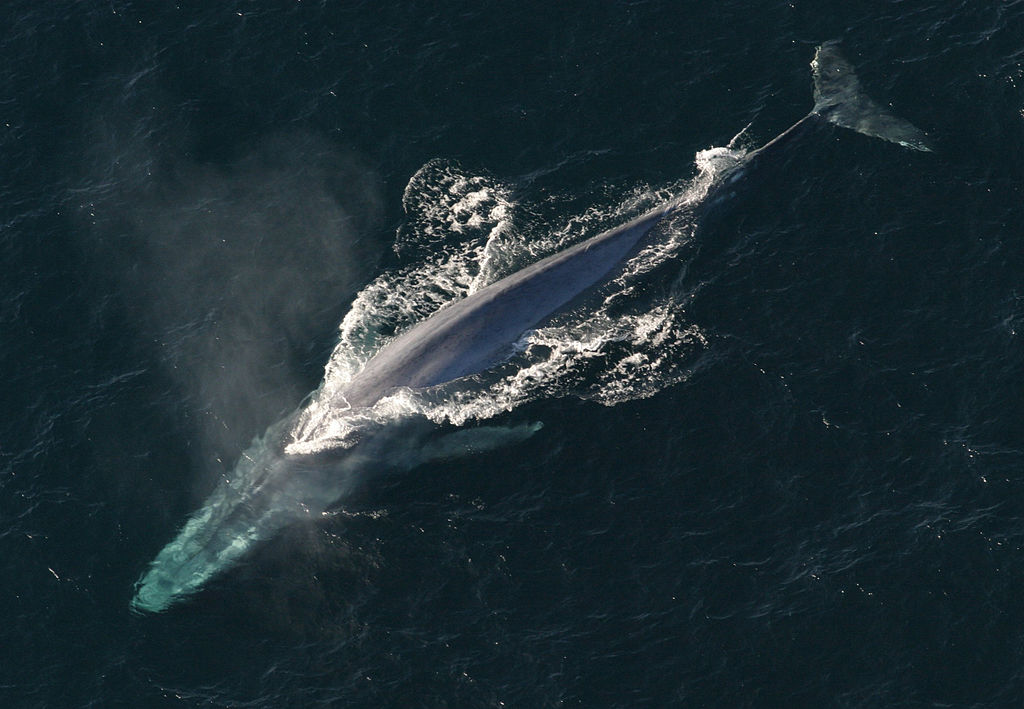 Whale stress levels influenced by human activity, earwax study suggests