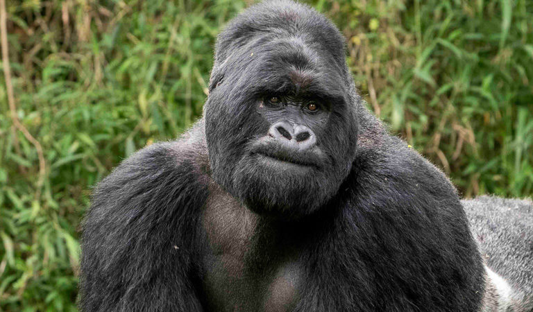 Mountain gorilla census reveals further increase in numbers