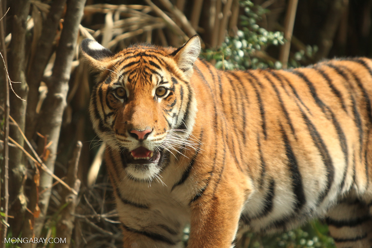 Tigers threatened by a vast network of planned roads across Asia