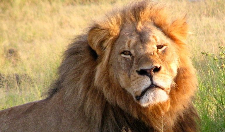 Podcast: Five years after the death of Cecil the Lion, trophy hunting debate rages on
