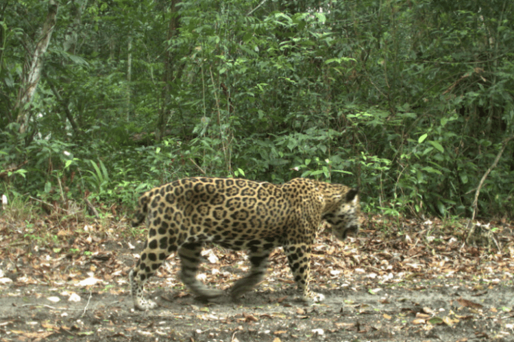 """A jaguar nicknamed """"Short-Tail"""" the first known to cross between Belize and Guatemala"""