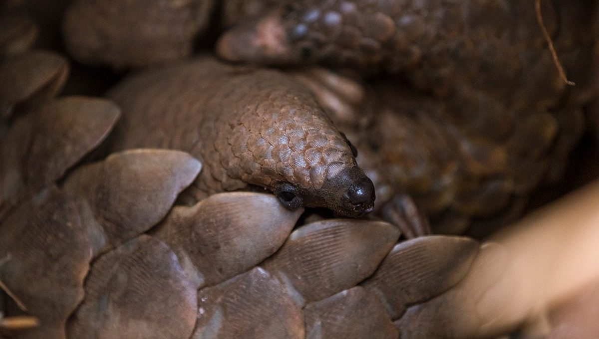 'We are all ecstatic': Rescued wild pangolin gives birth to healthy pup
