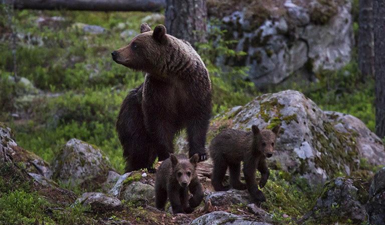 As predators return to Sweden's wild, ecotourism looks to change mindsets