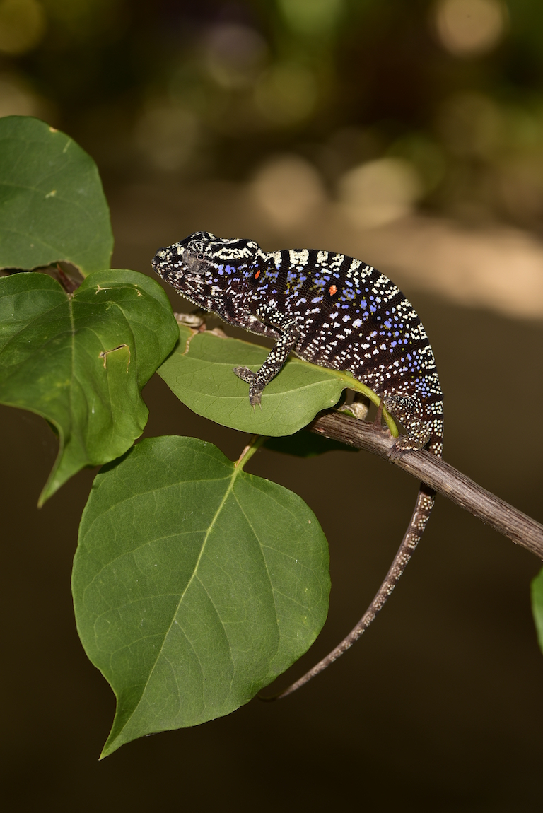 A chameleon not seen in a century reappears in a Madagascar garden