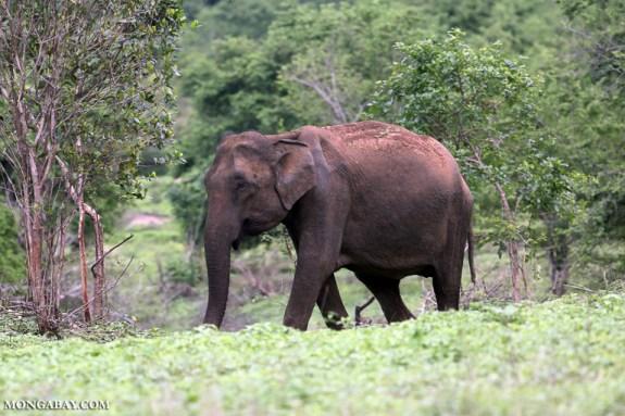 An elephant in Sri Lanka's Udawalawe National Park. Image by Rhett A. Butler/Mongabay.