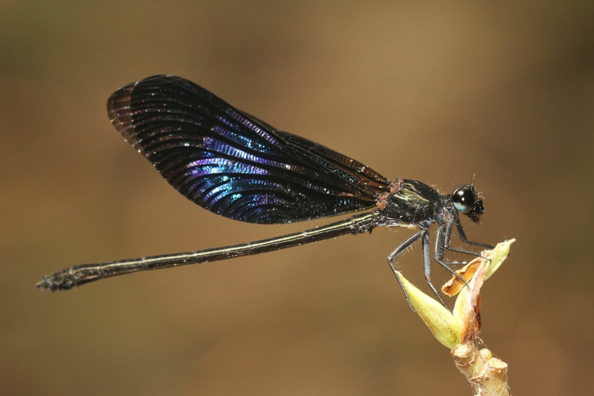 In Sri Lanka, here be dragonflies and damselflies like nowhere else (Commentary)