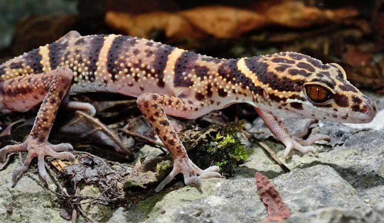 Reptile traffickers trawl scientific literature, target newly described species