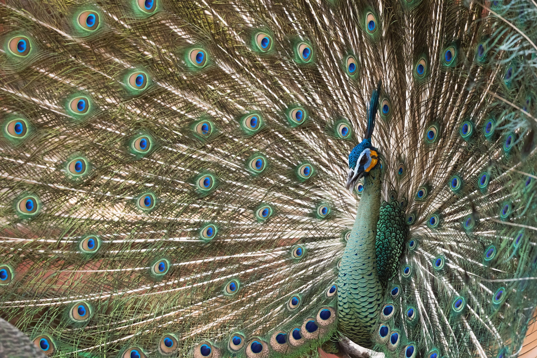 Green peafowl flourish in Thailand's northern forests, but conflict looms