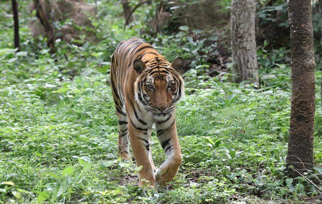 An Indochinese tiger (P. t. corbetti). Photo by Rhett A. Butler/Mongabay