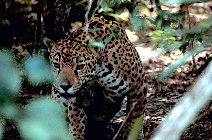 Is it time to rethink jaguar recovery in the U.S.? (commentary)