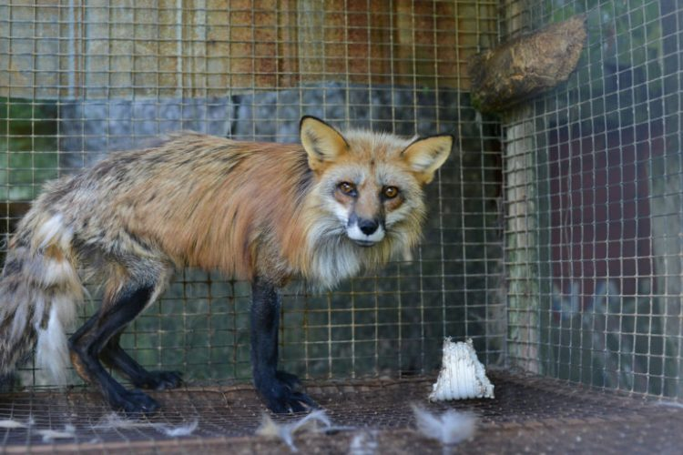 Fashions to die for: The fur trade's role in spreading zoonotic disease
