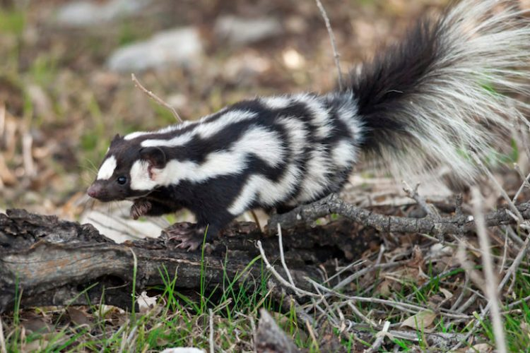 Pepé Le New: Meet the acrobatic spotted skunks of North America