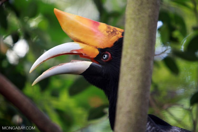 Malaysian hornbill bust reveals live trafficking trend in Southeast Asia
