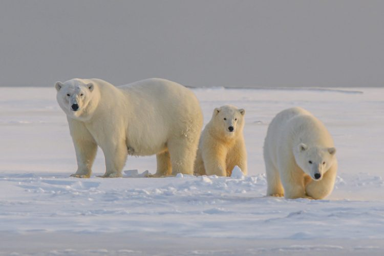 Keep polar bears and their extensive range safe from oil drilling