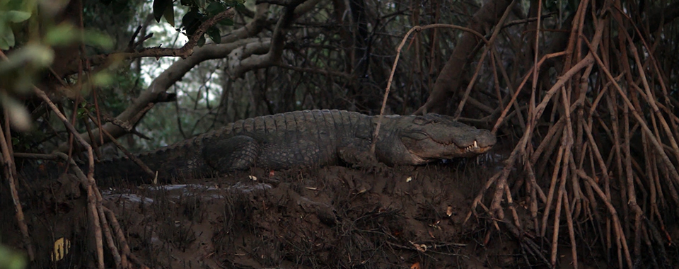 A freshwater crocodile or mugger in the estuaries of Goa. Still from 'Mannge Thapnee.'