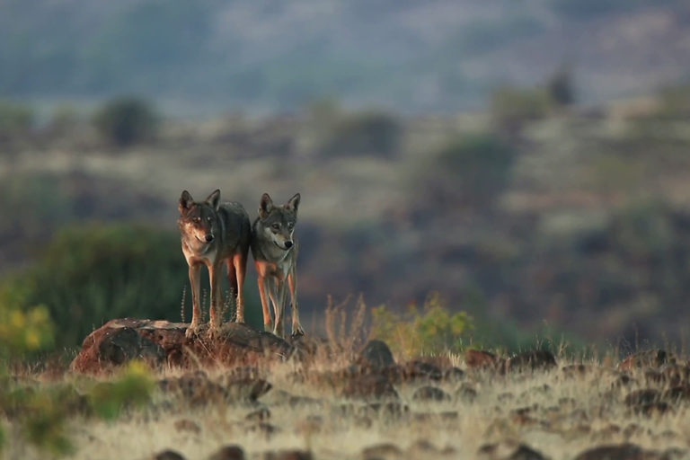 Indian wolves in Pune's unprotected Saswad grasslands. Still from the environmental film 'Treasures of Grasslands.'