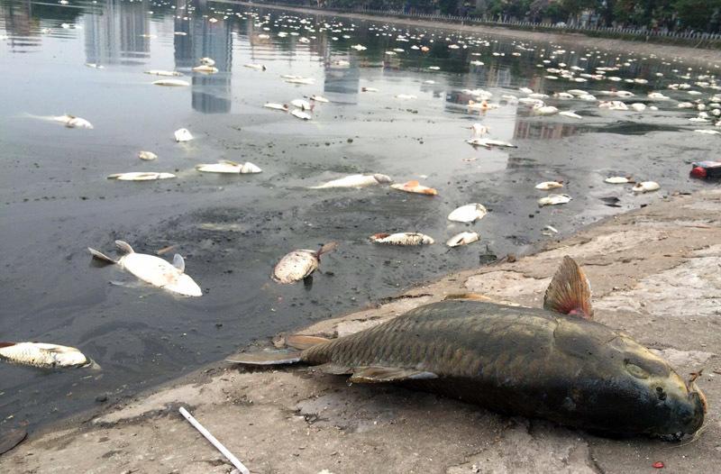 cá chết, hồ hoàng cầu