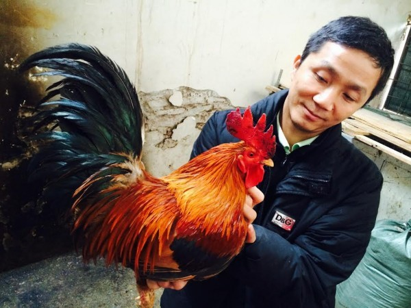 Bỏ chức giám đốc về cứu nguy đàn gà cổ thuần Việt