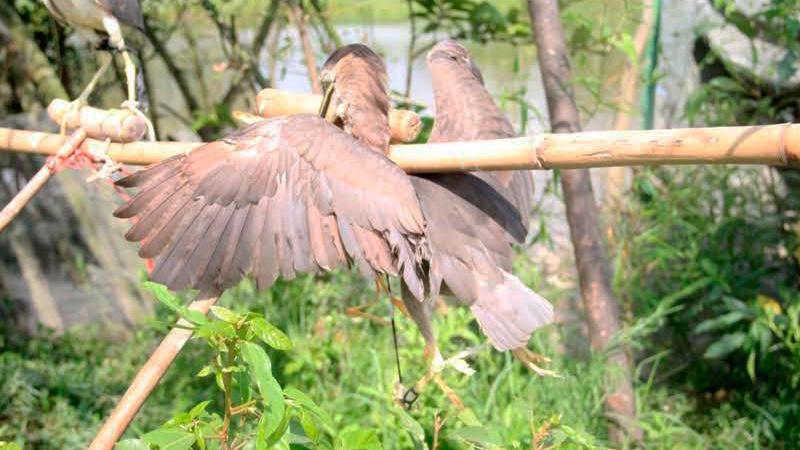 tận diệt chim trời, săn bắt chim, đánh bẫy, chim thui