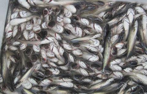 cá, thủy sản, Trung Quốc, nhập lậu, gia cầm, thịt bẩn