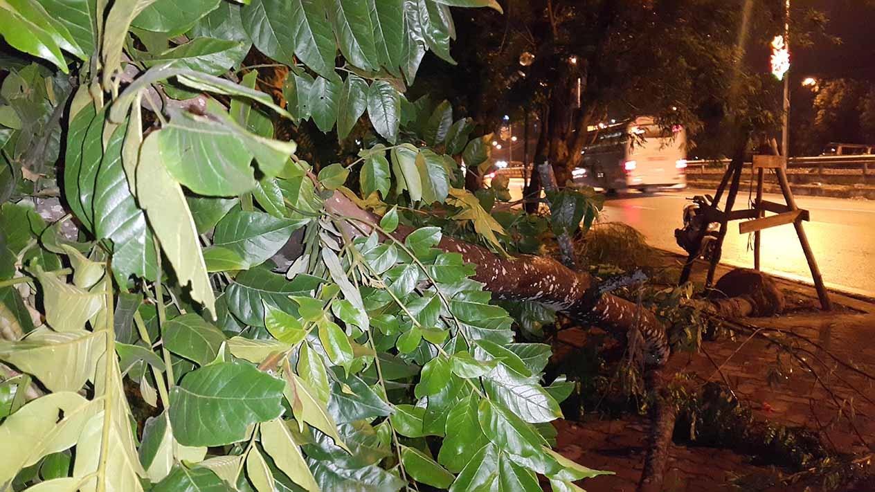 dông lốc, cây đổ, vàng tâm, cây xanh