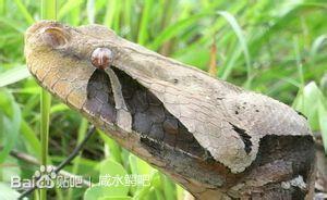 西非加蓬咝蝰(Bitis g. rhinoceros)