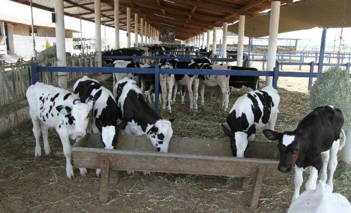 A falta de transporte também impede a distribuição gratuita do produto, já que o leite fica impróprio para o consumo seis horas após a ordenha. Foto: Júlio Jacobina/DP