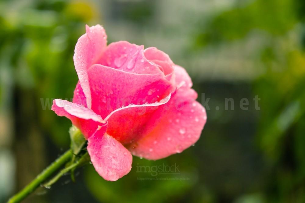 Flower - Imgstock, Biratnagar