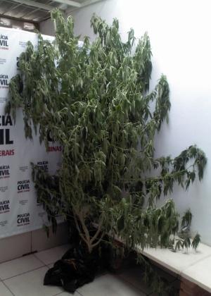 """Arbusto teria brotado a partir de uma """"bituca"""" de cigarro de maconha"""