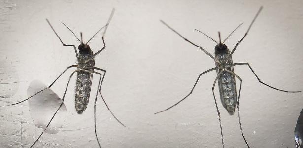 O Aedes aegypti é resitente e causa zika, dengue e febre chikungunya