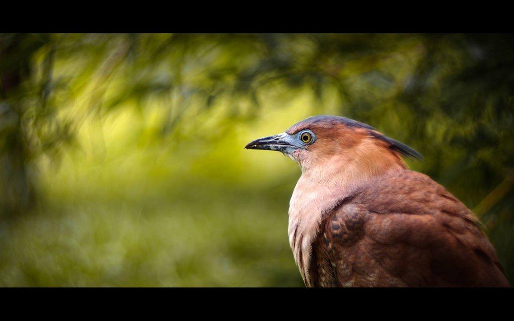 #校園生態 大笨鳥(黑冠麻鷺)的記錄 - 宜蘭大學板 | Dcard